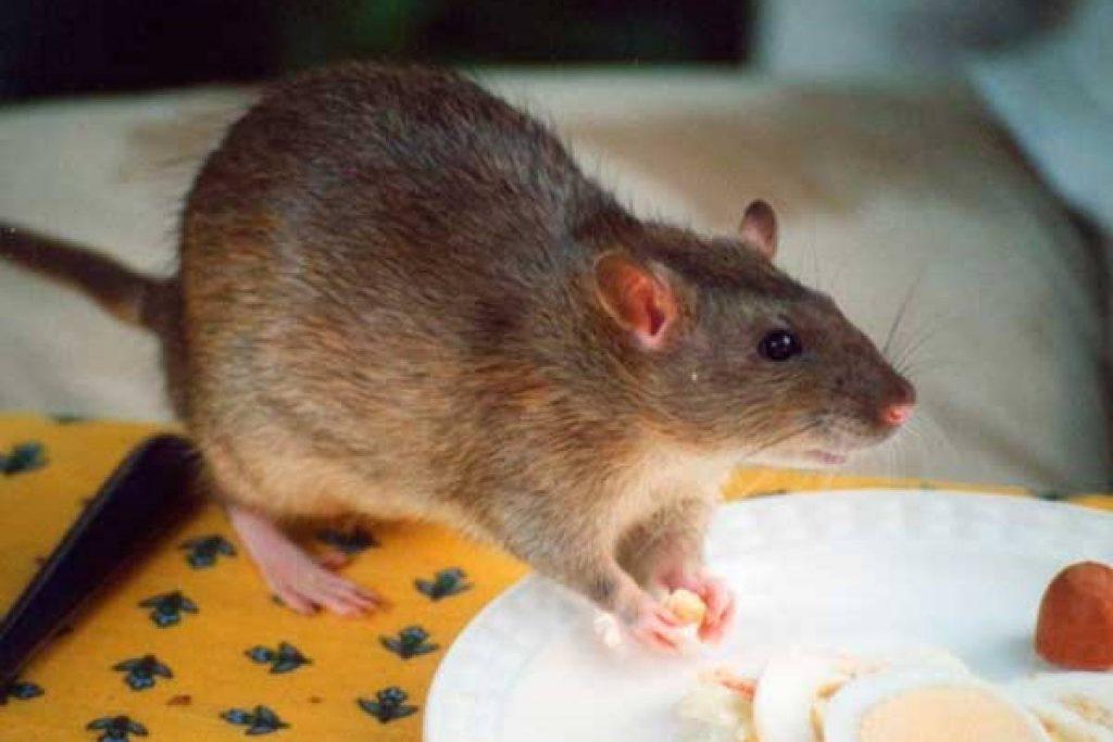 soñar con ratas atacando