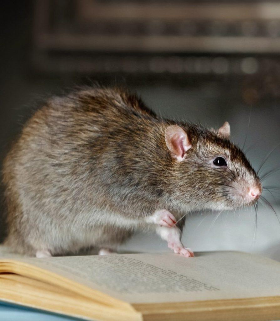 soñar con ratas comiendo