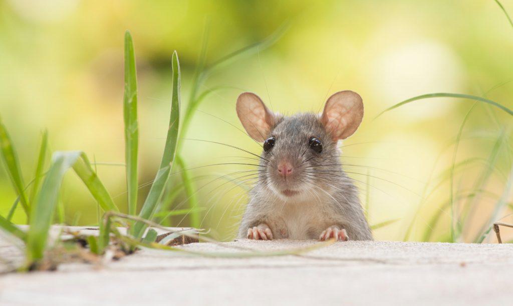 soñar con ratas como mascotas