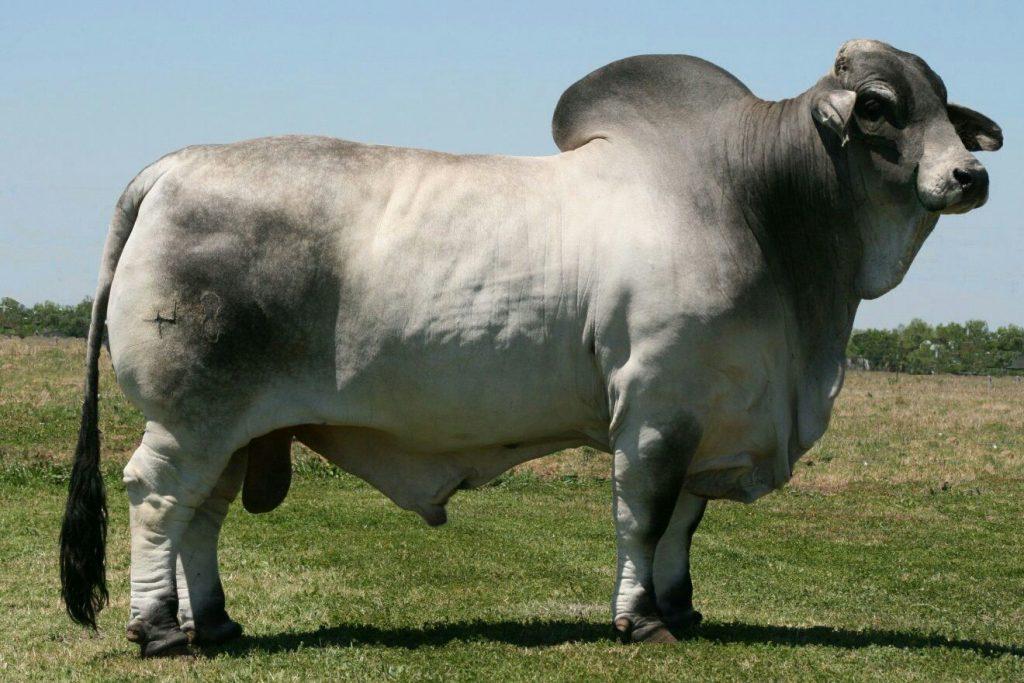 soñar con toros cebus