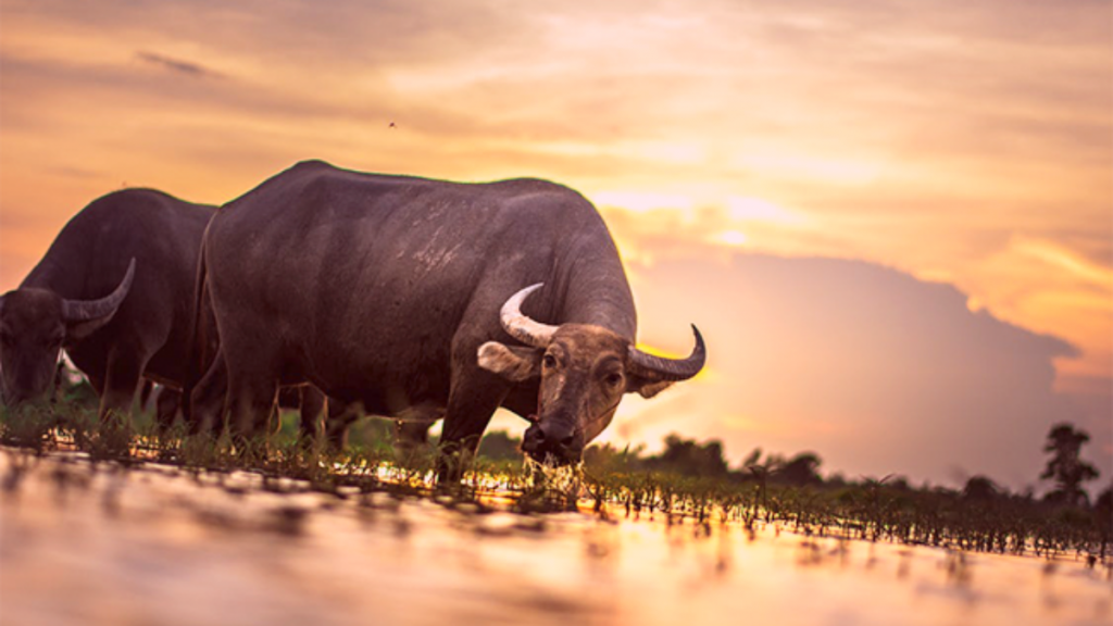 soñar con toros de casta