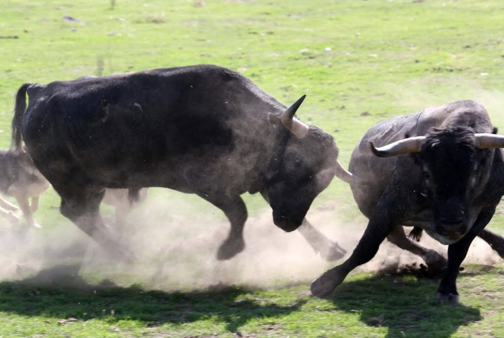 soñar con toros bravos