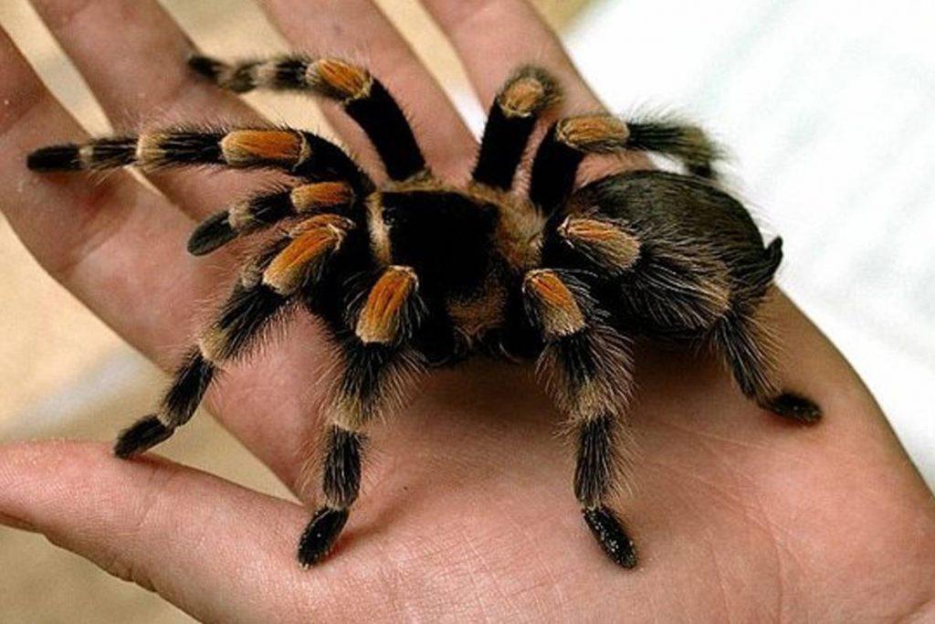soñar con arañas asesinas