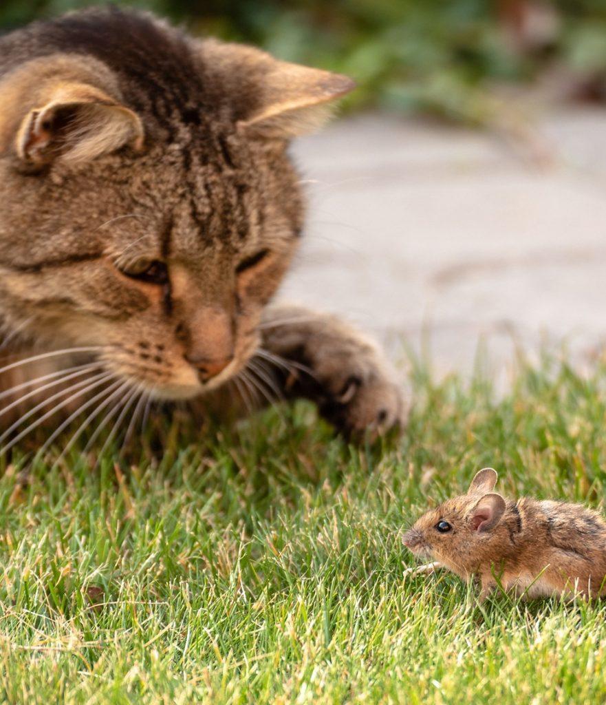 soñar con gatos cazando ratones