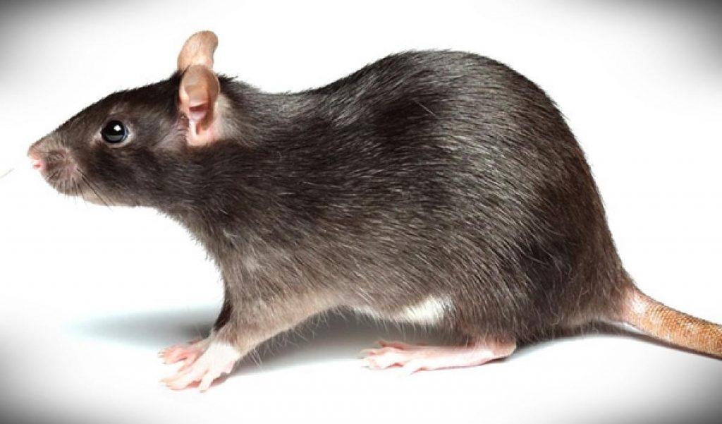 soñar con ratas de diferentes tamaños